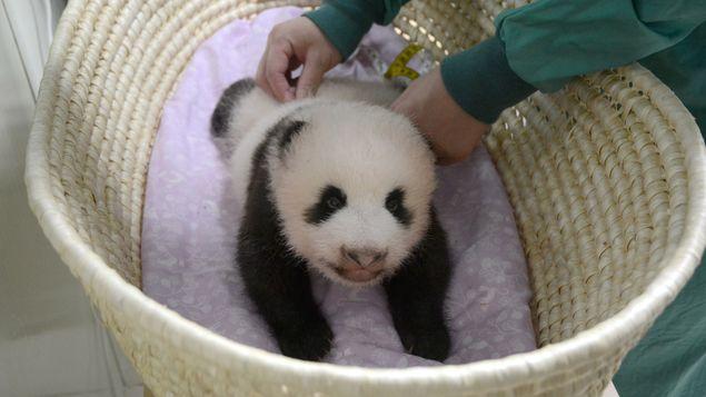 El bebé panda de Tokio cumple dos meses en plena forma