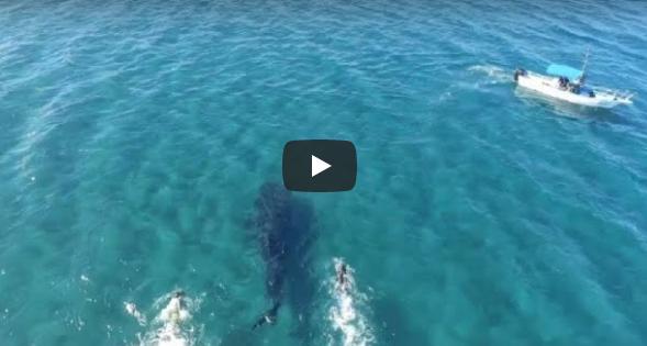Tiburones ballena nadar