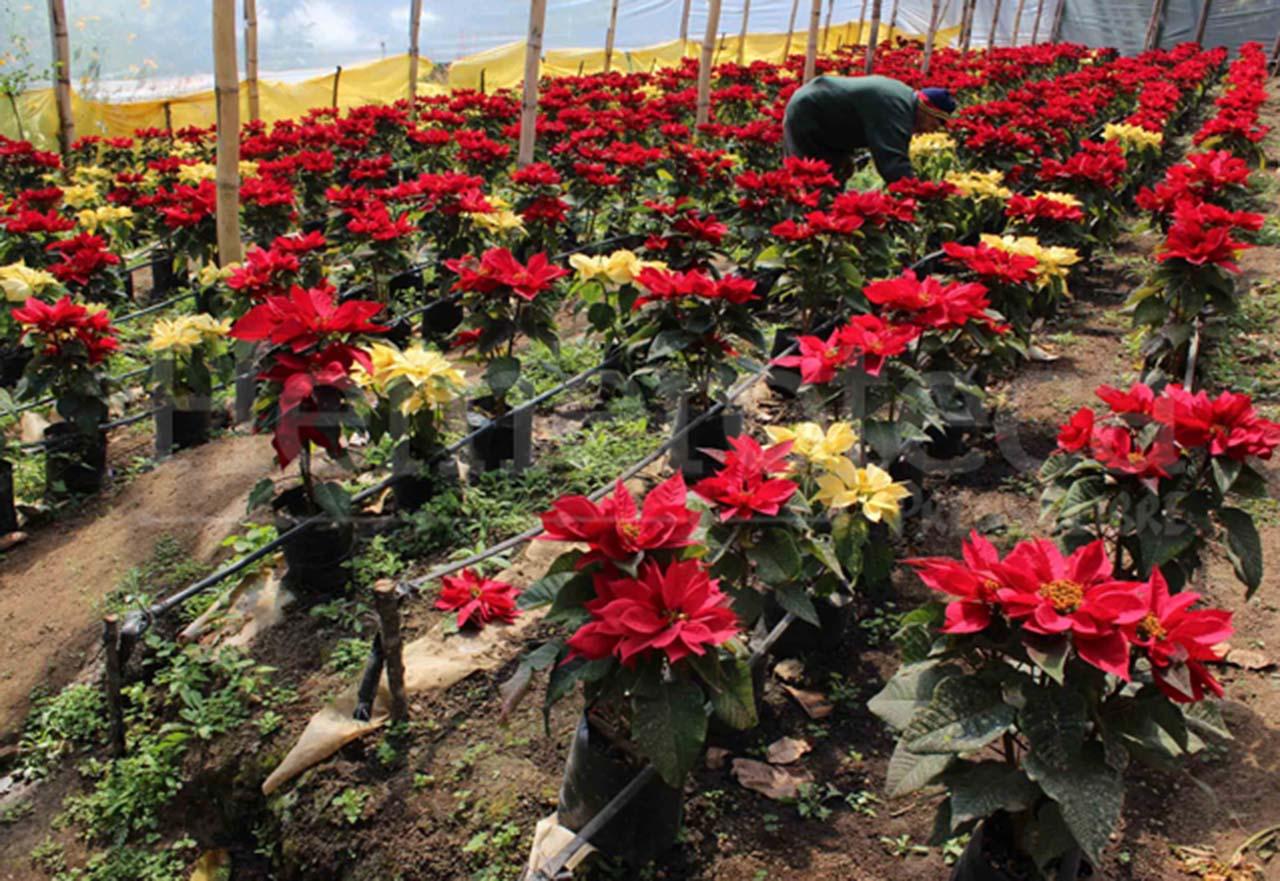 Las pascuas la flor más emblemática de la época navideña