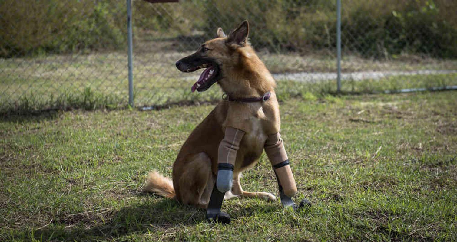 Un perro tailandés, el primero en usar prótesis similares a las de Pistorius