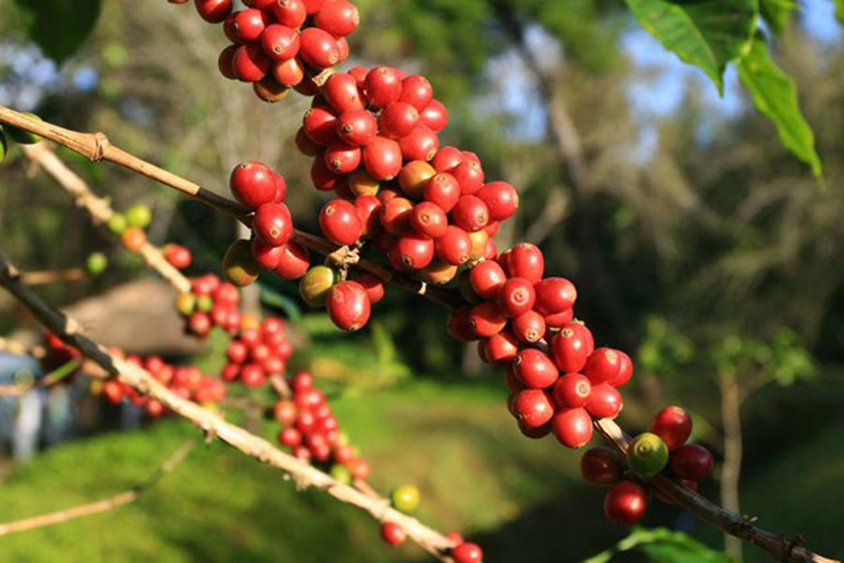 El frío de la temporada no ha provocado pérdidas en café, según ANACAFE