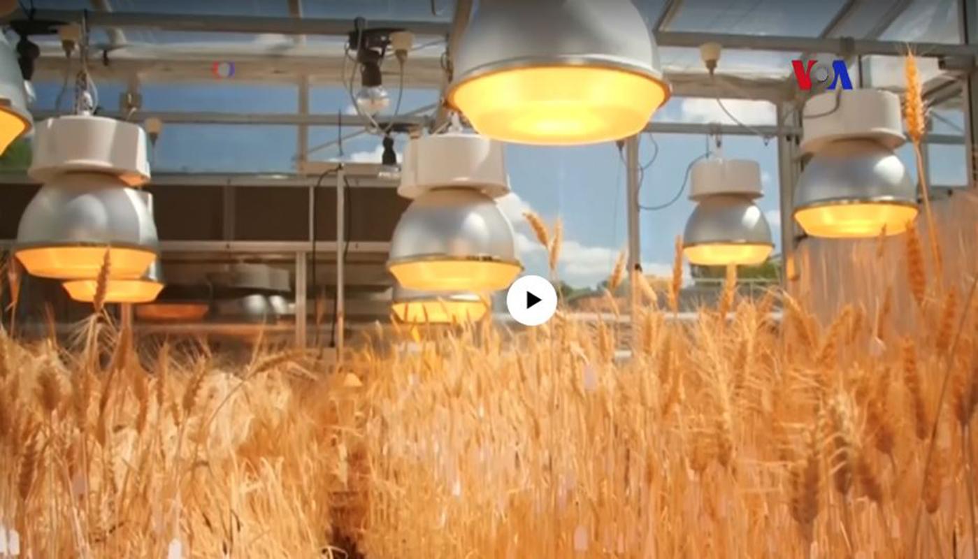 Cultivo veloz para lograr alimentar el planeta