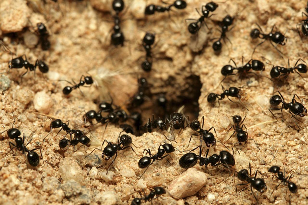 Las hormigas, ¿base de futuros medicamentos?