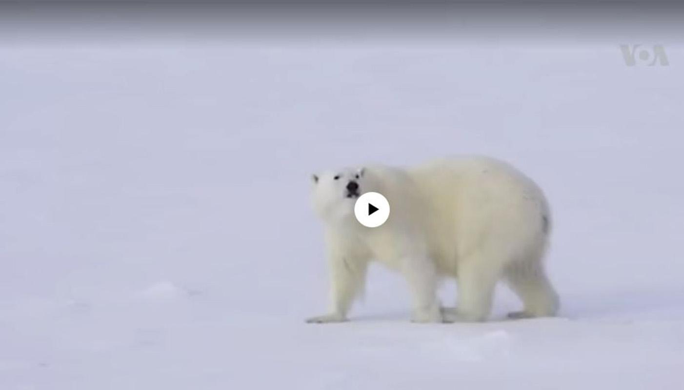 Oso polar en vía de extinción