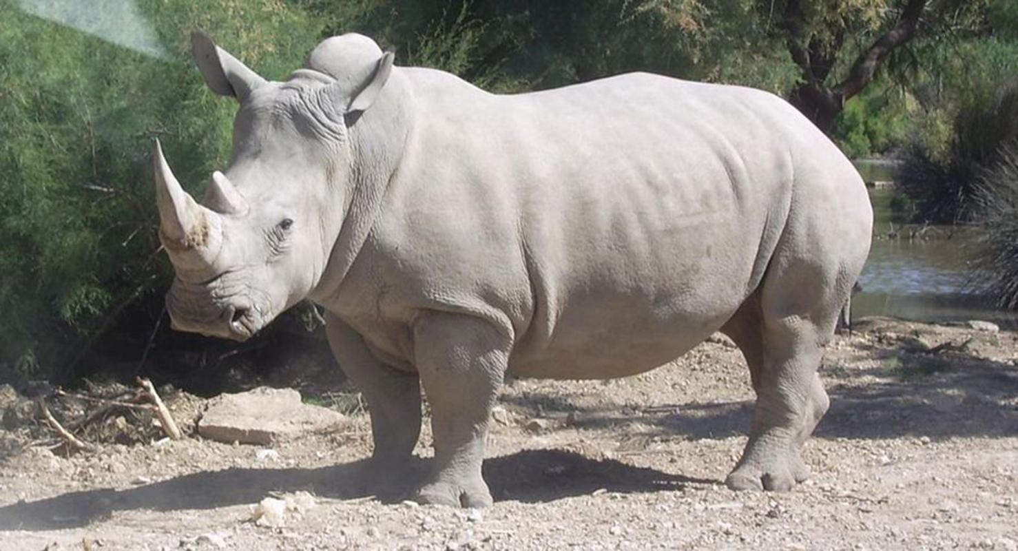 Muere en Kenia el último macho de rinoceronte blanco del norte