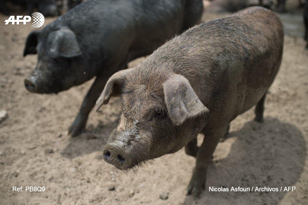 Sacrifican cerdos en China