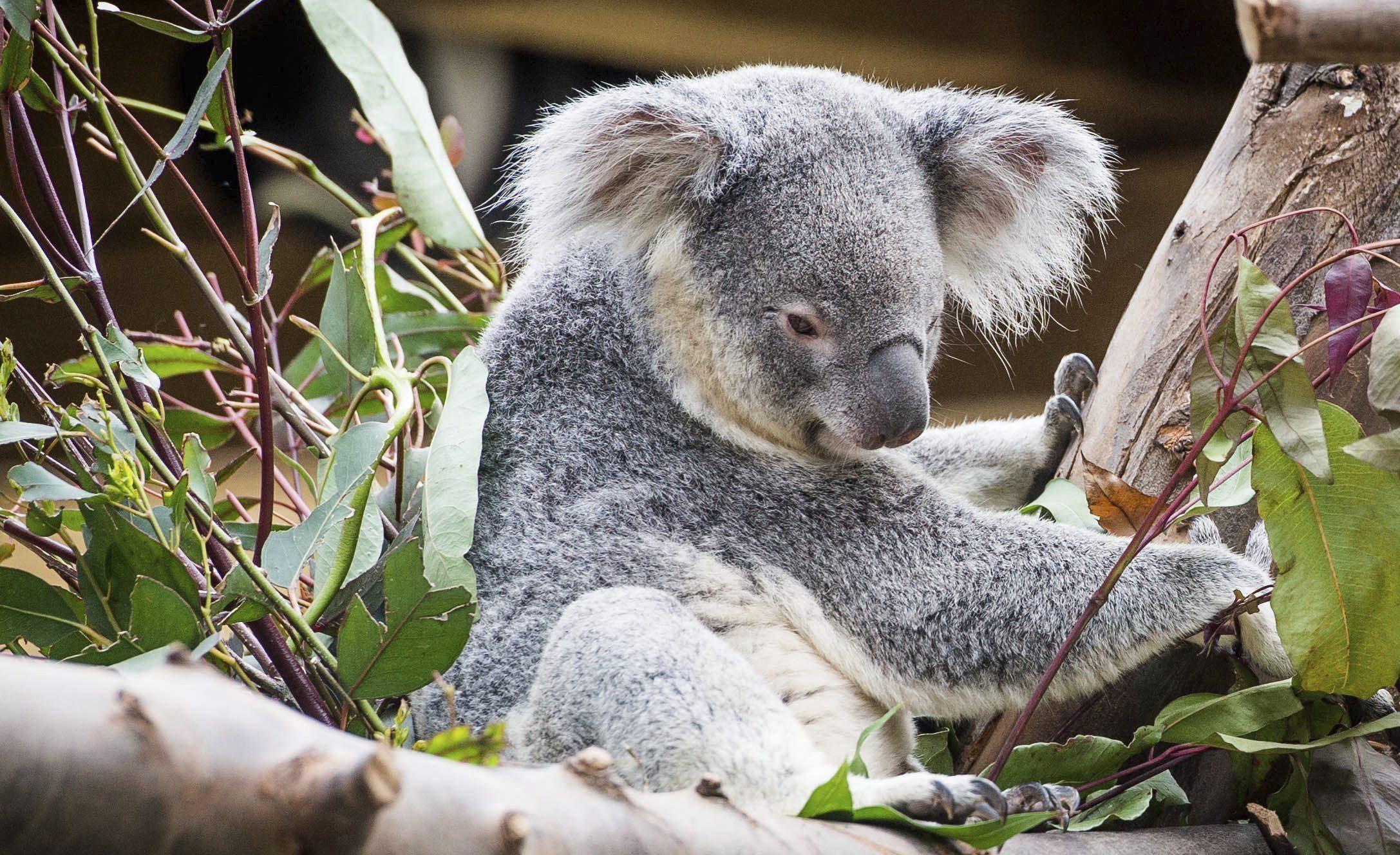Koalas en peligro