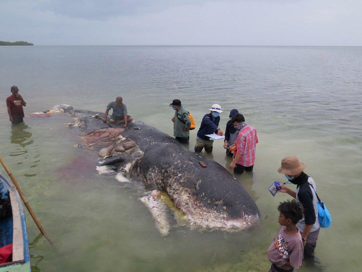 Indonesia: localizan muerto a un cachalote