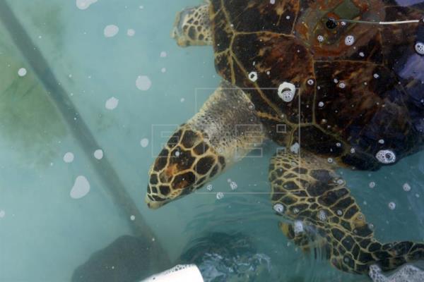 Los científicos hallaron unas 800 partículas sintéticas en las 102 tortugas analizadas pero su cantidad podría ser 20 veces mayor