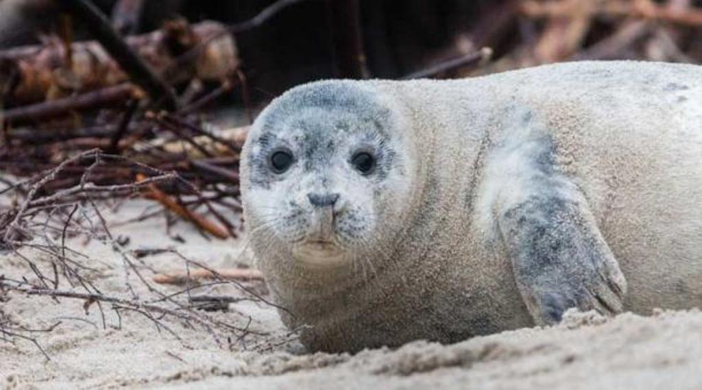 Canadá focas invasión Roddickton-Bide Arm