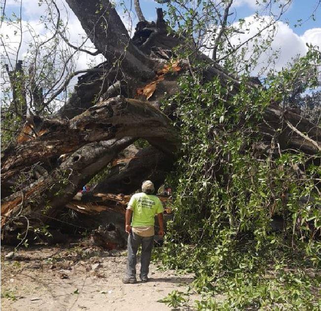 Árboles caídos en Guatemala según Conred