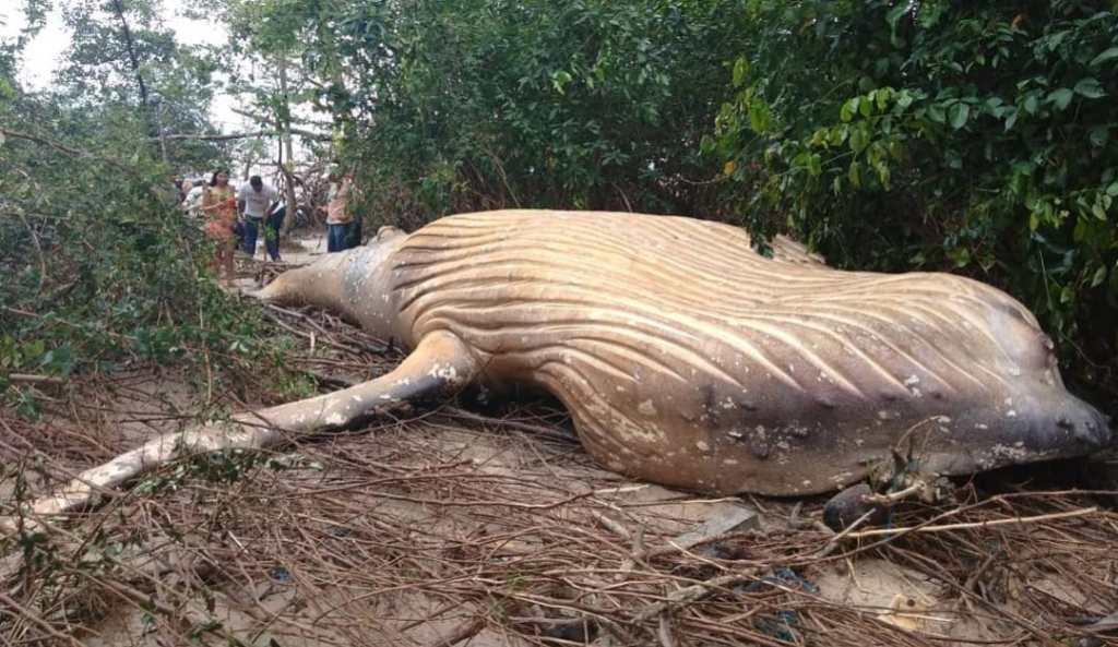 ballena Amazonas Brasil