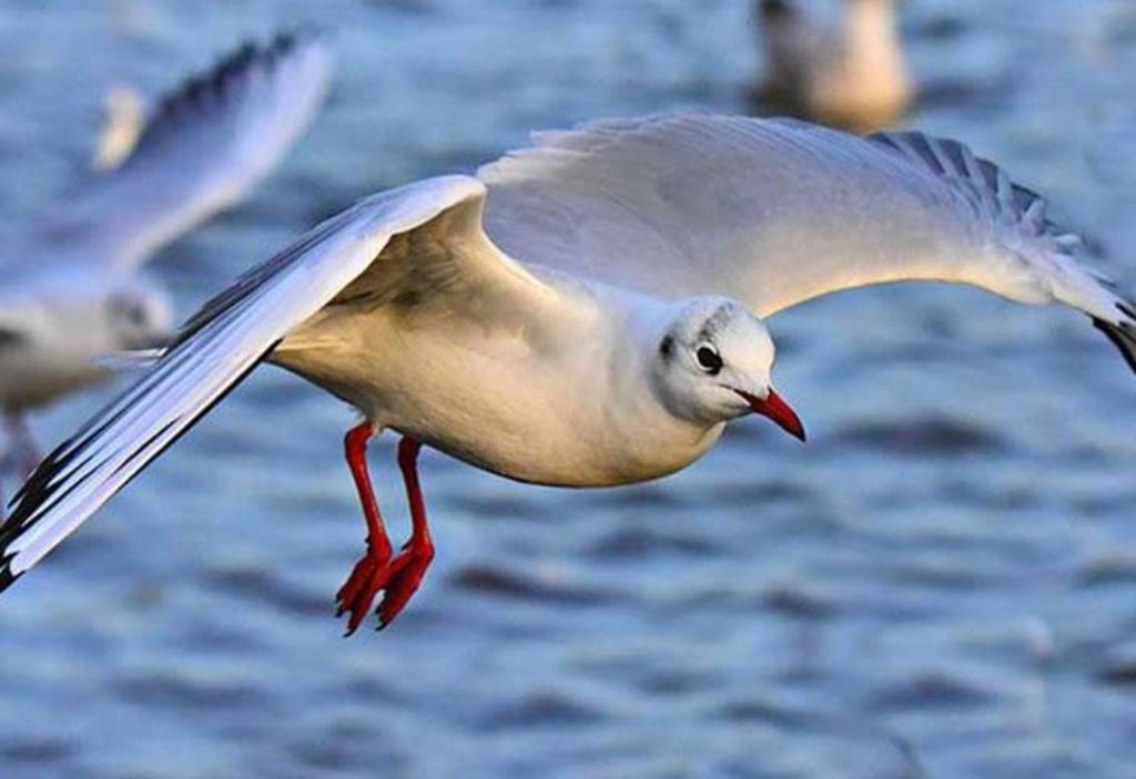 Holanda aves marinas pobladores
