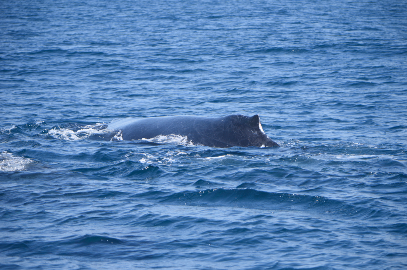Ballenas y delfines en Guatemala