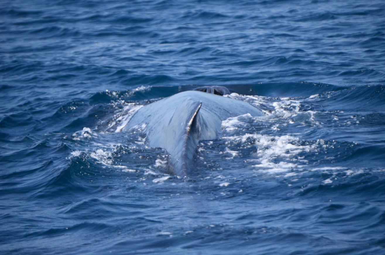 Ballenas en el Pacífico de Guatemala
