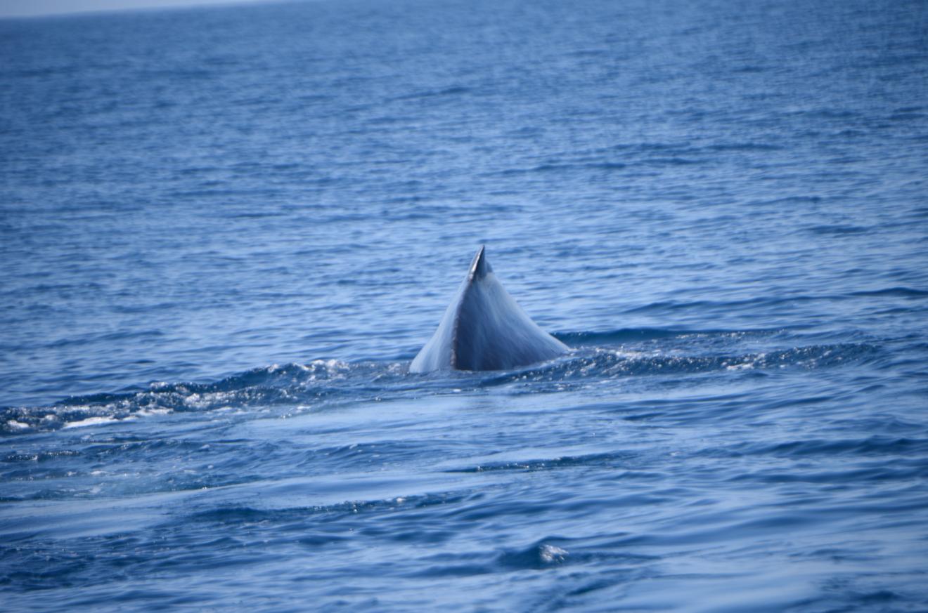 Avistamiento de cetáceos en la costa pacífica de Guatemala