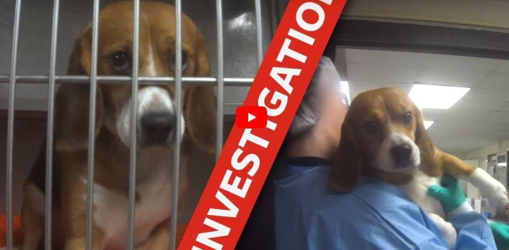 Perros beagles laboratorio experimentos Michigan