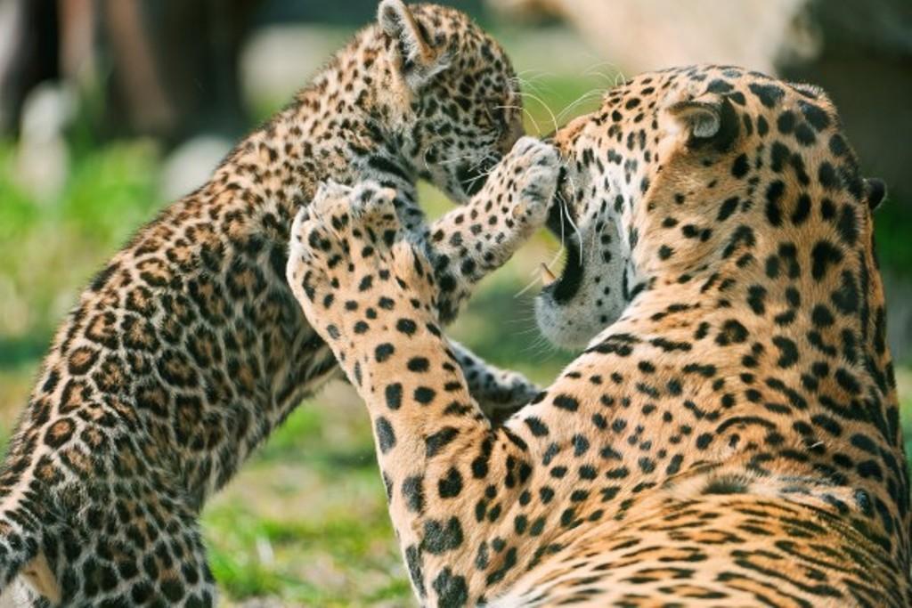 jaguar inseminación artificial Brasil