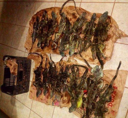 Detienen a hombre que transportaba iguanas muertas para su comercialización