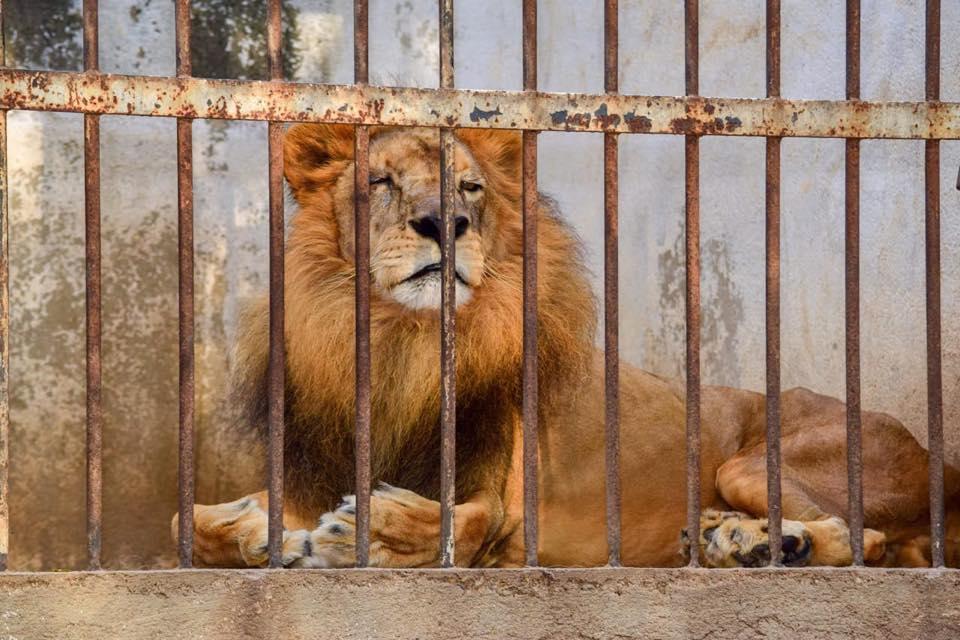Gruñón, el león del Zoológico de Zacapa