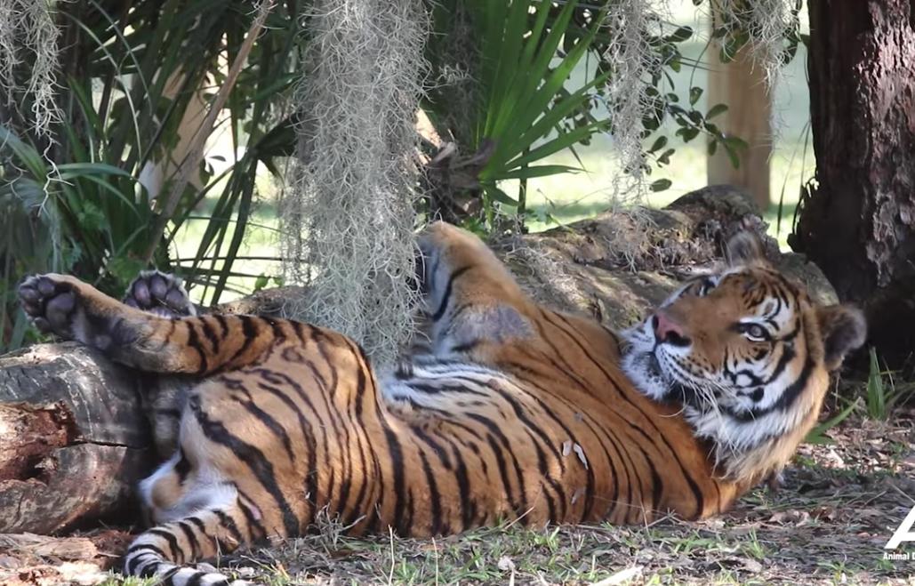 Tigres rescatados de un circo de Guatemala llegan a su nuevo hogar
