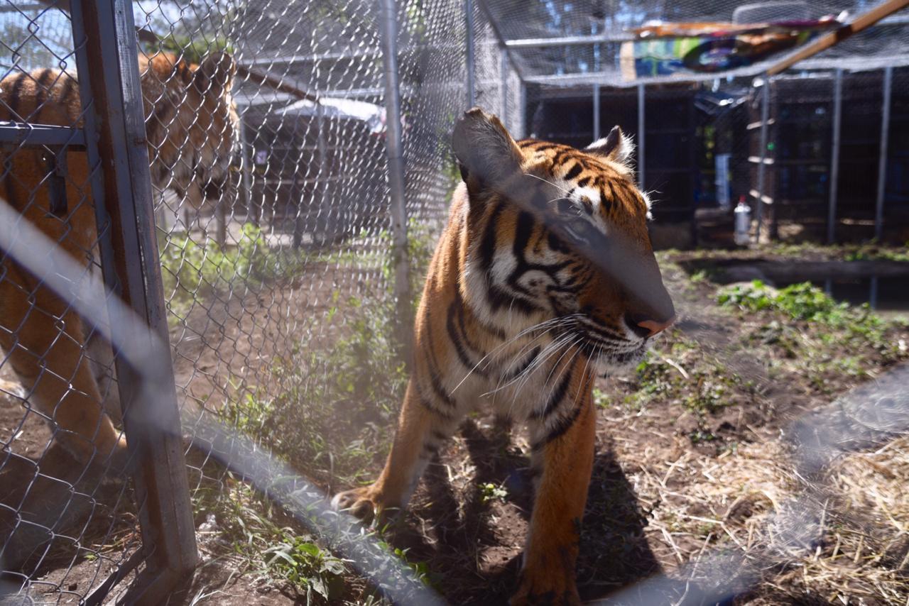 FOTOS: Trasladan a Sudáfrica a 17 felinos rescatados en circos
