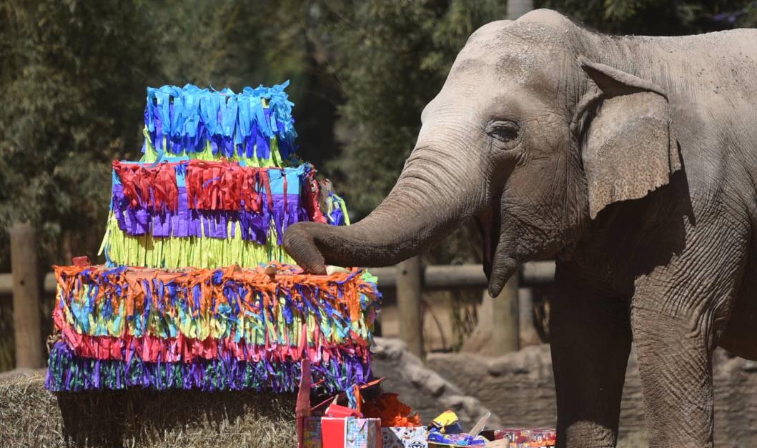 Trompita cumple 59 años en el Zoológico La Aurora