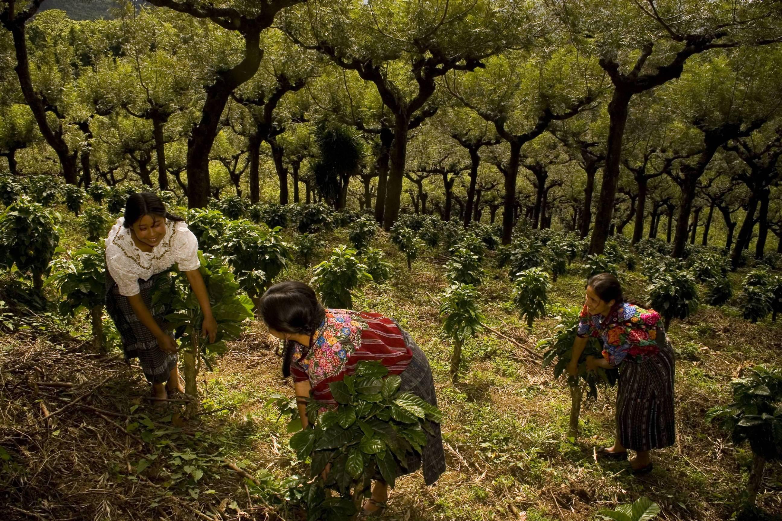 Empresa anuncia plan para impedir el trabajo infantil en fincas de café