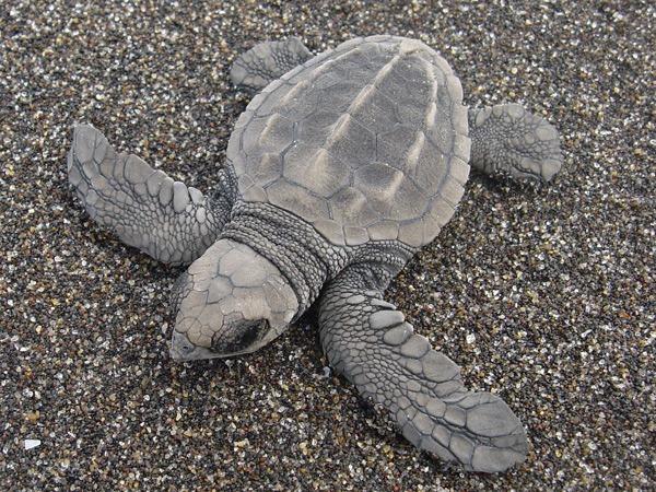 Asociación ecológica pide un click para poder seguir rescatando tortugas
