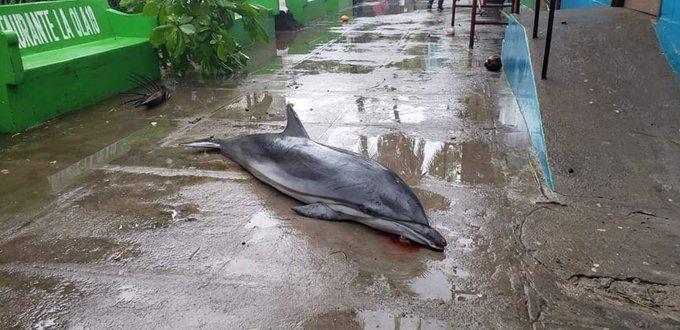 Tormenta Amanda: delfín muere tras potentes olas en La Libertad, El Salvador