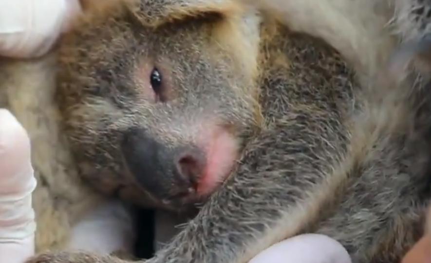 VIDEO | Con tierno video anuncian nacimiento de koala tras pavorosos incendios en Australia