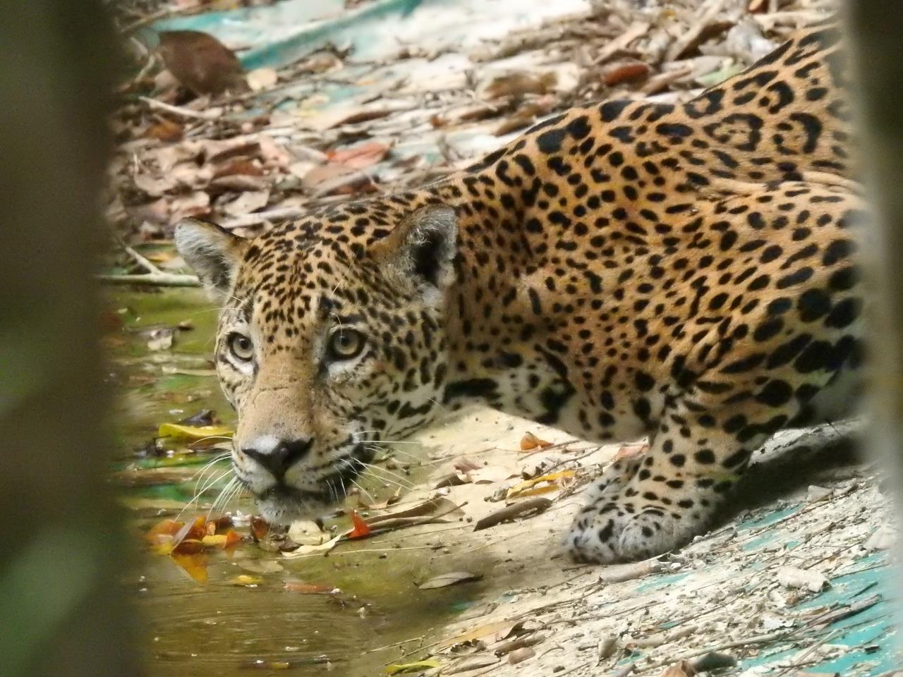 VIDEO: Animales reaparecen en parque nacional El Mirador por falta de visitantes