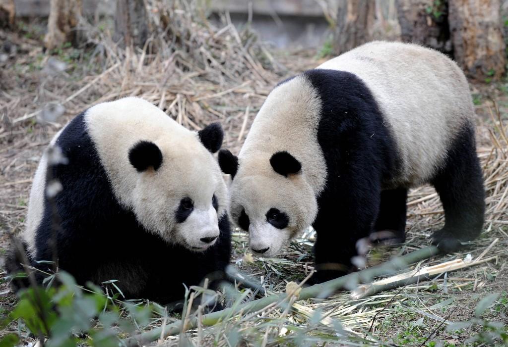Pandas chinos llegados a Taiwán en 2008