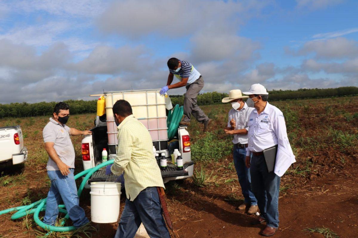 Realizan fumigación aérea en Petén para combatir langosta