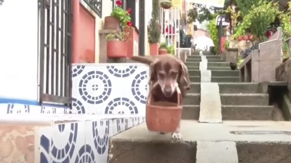 Eros, perrito que reparte compras en Medellín, Colombia