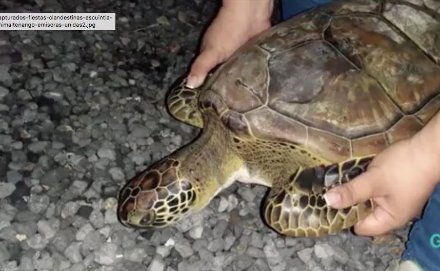 Liberan a tortuga marina en área protegida de Izabal