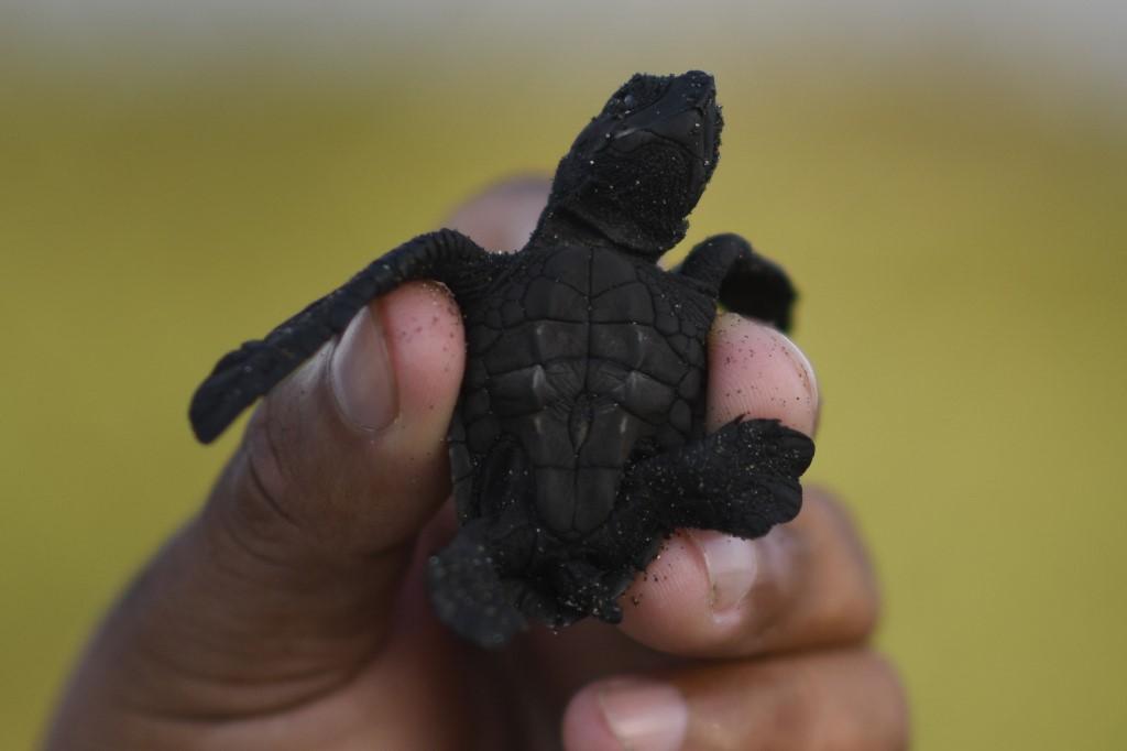 tortugas marinas en playa de Sipacate, Guatemala