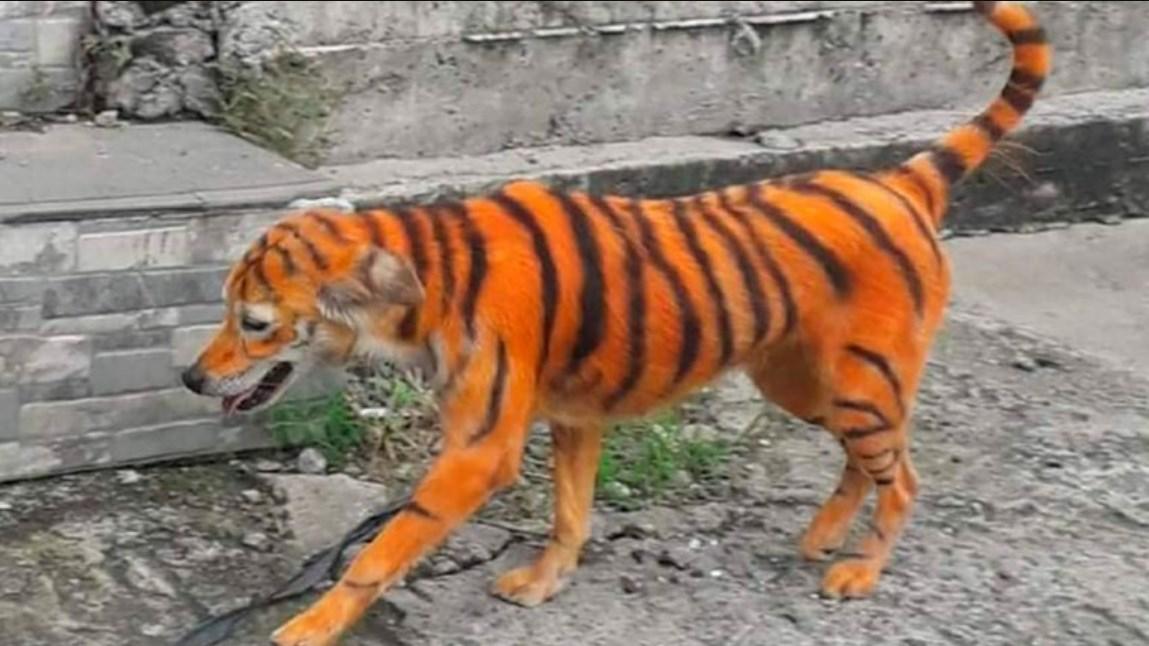 Pintan a perro como si fuera un tigre en Malasia