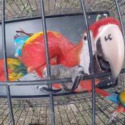 Conap libera a 26 guacamayas en la Reserva de la Biosfera Maya