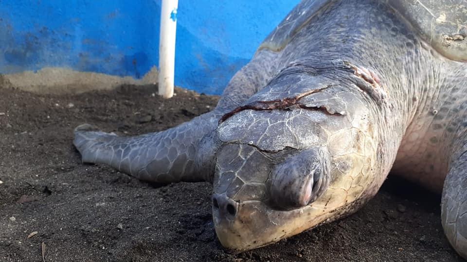 tortugas de parlama atendidas por parque zoológico La Aurora