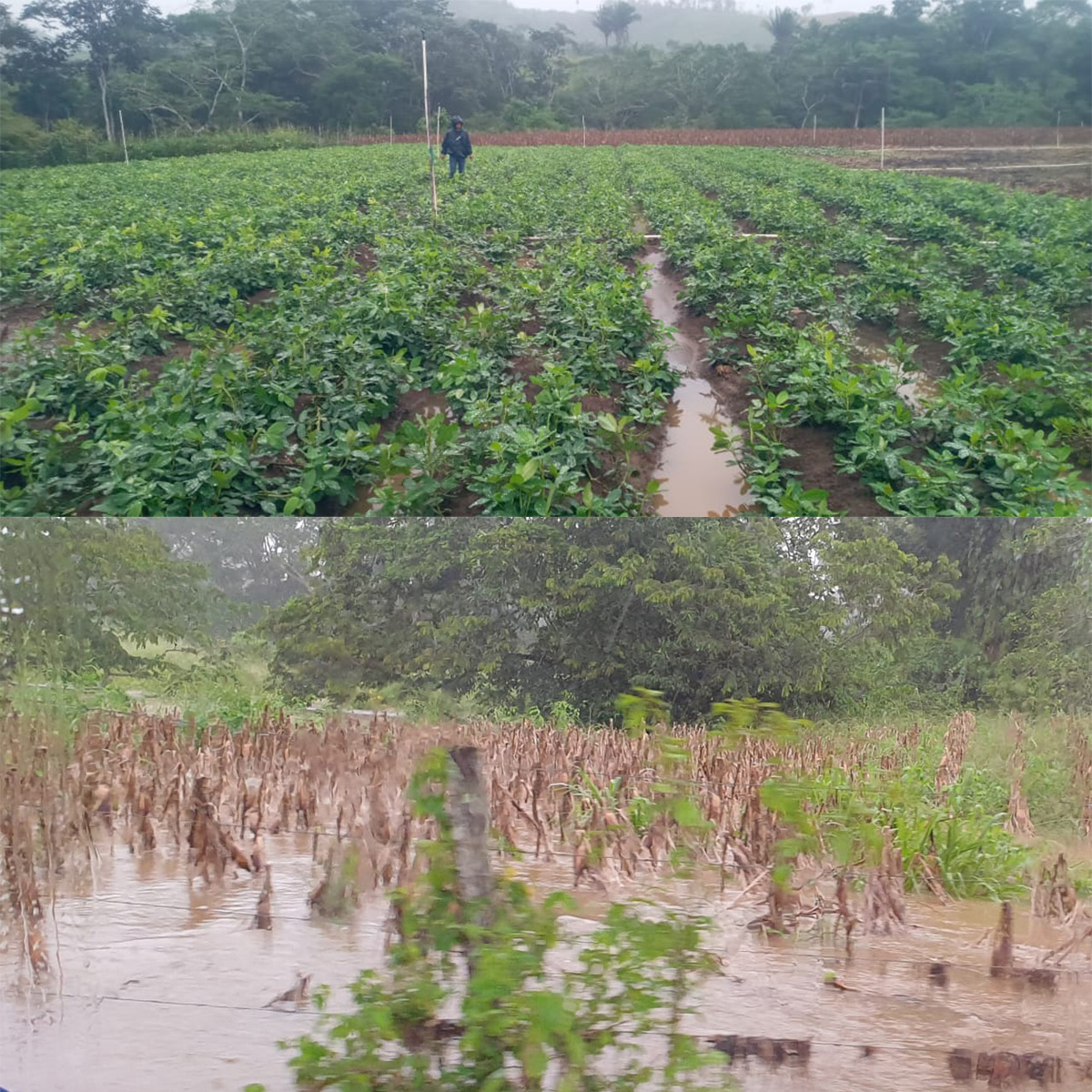 daños en cultivos por depresión tropical Eta