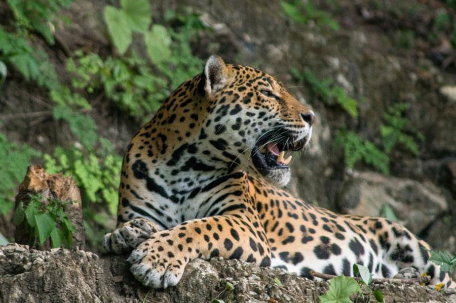 Jaguar en Guatemala