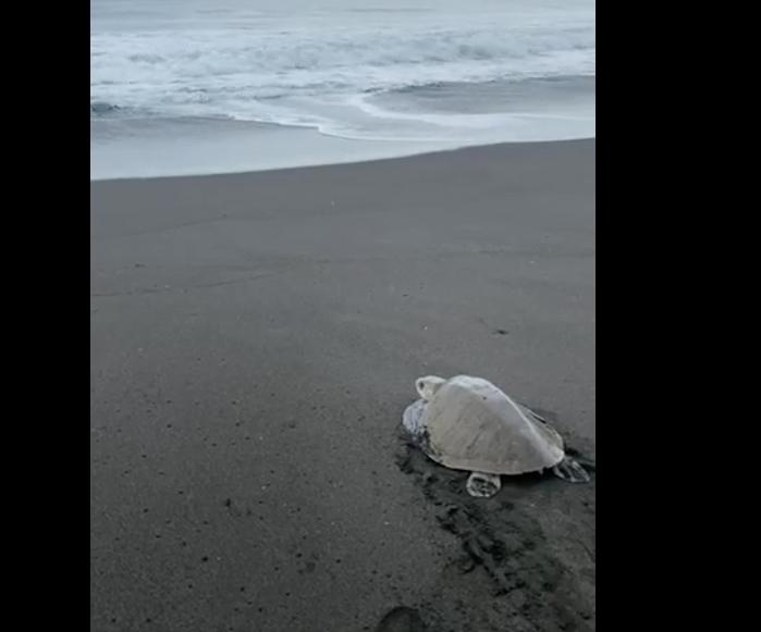 liberan a tortuga en Monterrico
