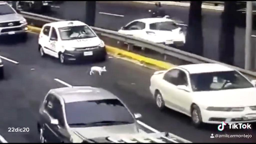 Cerdo deambula por la vía pública.