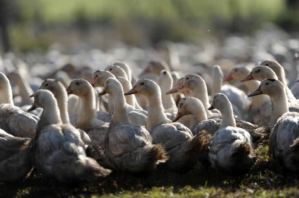 Gripe aviar en Francia y Bélgica