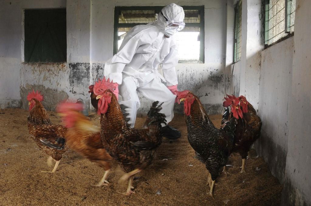 Gripe aviar en la India