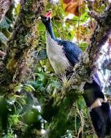 aves Pavo de Cacho rescatadas de incendio en volcán Atitlán