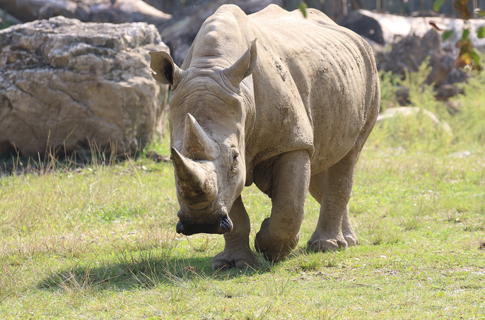 Murió el rinoceronte blanco más viejo del mundo